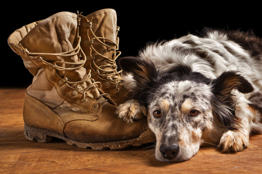 Border collie Australian shepherd dog canine pet lying on tan veteran military combat work construction boots looking sad in mourning depressed abandoned alone bereaved worried heartbroken