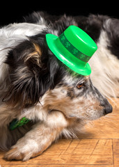 Border collie Australian shepherd dog pet wearing green Irish leprachaun saint patrick day hat costume with green bow while mischievous guilty isolated lying down