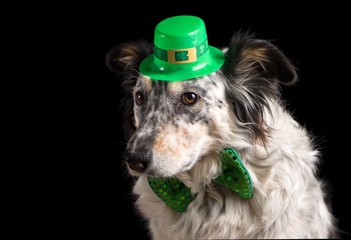 Border collie Australian shepherd dog pet wearing green Irish leprachaun saint patrick day hat costume with green bow while mischievous guilty isolated on black background