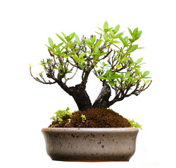 Bonsai tree in pot, isolated on white background.