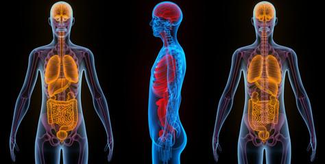 HumanOrgans (Brain, Lungs, Large, Small Intestine, Kidneys)