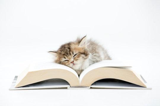 Little Persian kitten sleeping on a book