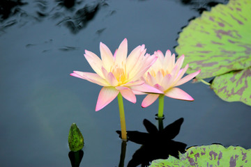 Pink water lilies with bud, lotus