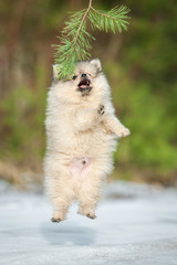 Pomeranian spitz puppy jumping in the air in winter