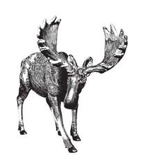 Big moose. Ink drawing.