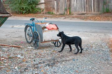 Sad looking street dog scavenging in rubbish cart of human scavenger