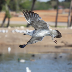 flying seagull in action ..
