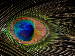 Peacock feather eye detail.
