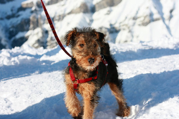 Foxterrier standing on the snow in the mountains