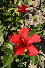 Red hibiscus, Spain