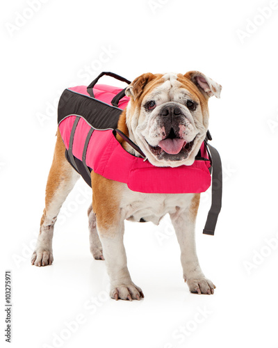 bulldog life vest quot bulldog wearing pink life vest quot stock photo and royalty 3106