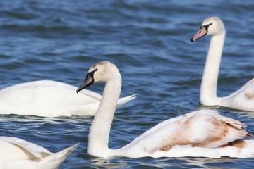 mute swan on blue river,  cygnus olor
