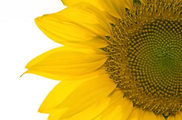 sunflower, selective focus