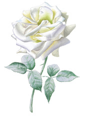 Realistic white rose. Watercolor.