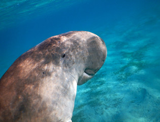 Dugong portre from Marsa Alam