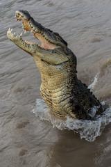 skaczący krokodyl 2