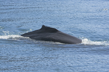 Humpaback Whale Showing its Dorsal Fin