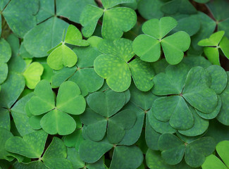 Clover background. Green background with three-leaved shamrocks. St.Patrick's day holiday symbol.