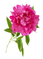 Peony with leaves isolated on white background