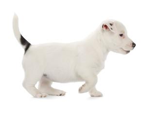 Fotobehang - Jack Russell Terrier puppy