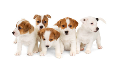 Fotobehang - Five Jack Russell Terrier puppies