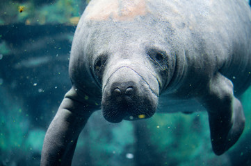 manatee close up portrait looking at you Wall mural
