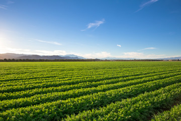 Organic Farm Land Crops In California. Blue skies, palm trees, multiple layers of mountains add to this organic and fertile farm land in California. Fotoväggar