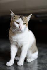 Thai cat sitting on the cement floor