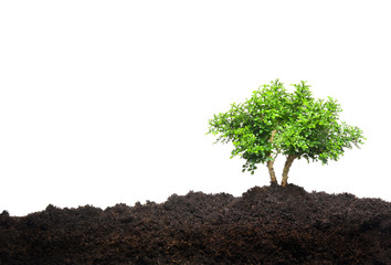 A small tree isolated on white background