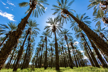 Palm Tree Date Farm Harvest in California. Palm Tree Date Farm and Clear skies fill the image in Coachella, California. Two airplanes flying past in the distant background.