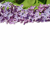 nice natural spring background with lilac flowers for congratula