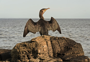 Cormorant, Phalacrocorax carbo, perched on a rock drying its wings