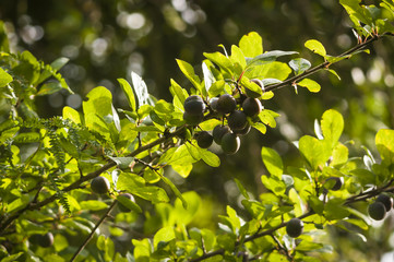 Wild Damsons, Prunus domestica insititia, almost ready for harvesting.