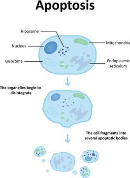 Apoptosis Labeled Diagram