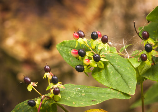 Leaves and berries of the Deadly Nightshade plant, Atropa belladonna.