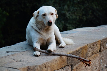 Dog, man's best friend, waiting in the famous LODHI GARDEN with a stick in his hand to play with a friend....