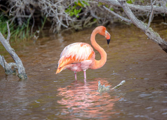Flamingo, Galapagos Islands, Ecuador