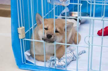 檻の中にいる柴犬の子犬