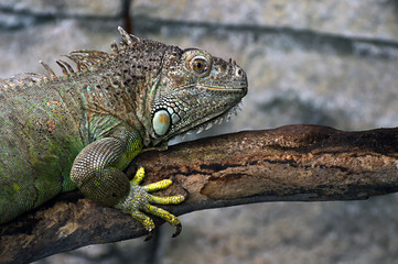 Green Iguana close-up portrait