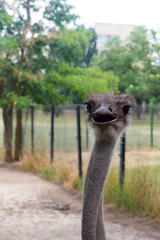 Ostrich at the zoo, ostrich in the reserve, an ostrich farm, ostrich meat and eggs