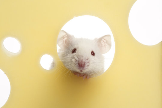 White mouse on piece of cheese