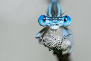 Libelle Dragonfly - Gemeine / Blaue Federlibelle - Platycnemis pennipes