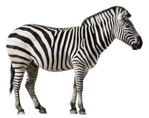Zebra Isolated on a White Background