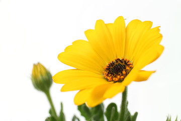 yellow African daisy full bloom close up in the white