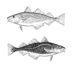 Hand Drawn Cod Illustration