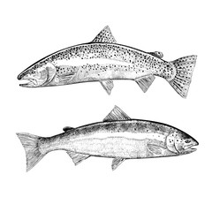 Hand Drawn Trout and Salmon Illustration