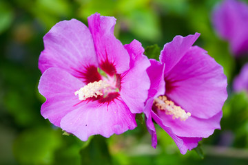 Closeup of two hollyhock flowers