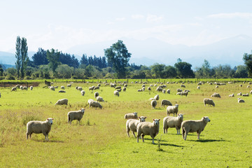 beautiful meadow with sheep in blue sky