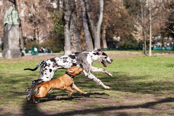 Alano arlecchino nto bianco e nero e pitbull marrone rossiccio che corrono e giocano  insieme in un parco cittadino