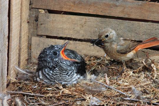 cuculo nido con codirosso